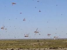 ONU alerta para perigo de crise humanitária causada por gafanhotos na África