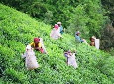 Plantações de chá suspendem produção e trabalhadores morrem de fome na Índia