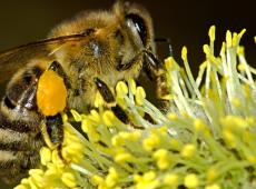 Com aprovação de mais agrotóxicos, apicultores temem novo extermínio de abelhas