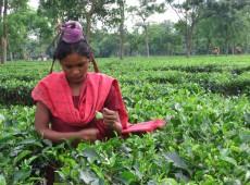 Seminus e mal alimentados, indianos que colhem chá querem melhores condições de trabalho