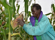 Países africanos estão usando tecnologia para produzir milho e reduzir fome gerada por mudanças climáticas
