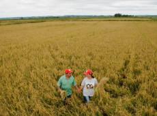MST inicia colheita de arroz orgânico no RS e espera colher mais de 300 mil sacas