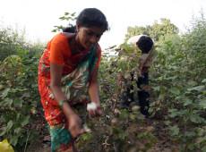 """""""Algodão da morte"""": suicídios de camponeses escandalizam novamente a Índia"""