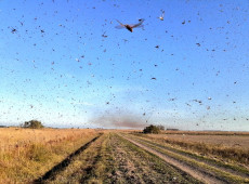 Para combater nuvem de gafanhotos, governo libera mais usos para agrotóxicos