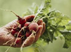 Rabanetes... Sigo plantando por essa bobagem de manter a raiz camponesa dos meus avós
