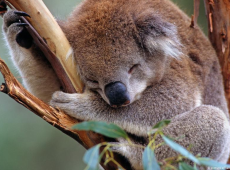 Dezenas de coalas são sacrificados após destruição de habitat na Austrália