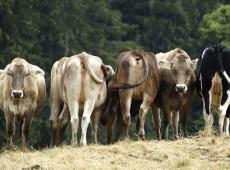 """No """"cu do guindo"""": cocô de vaca somos nós e não servimos nem de adubo para plantas"""